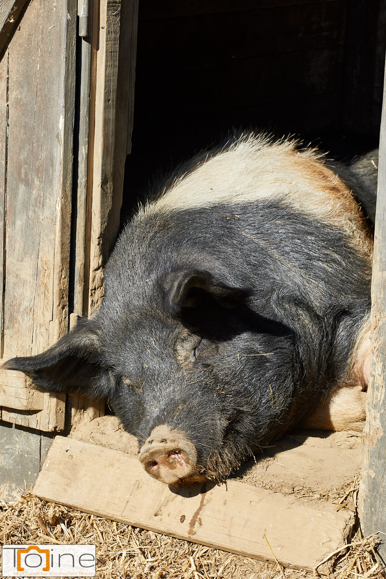 This pig was just taking a nap. Unlike his buddies the horses, he clearly had the day off!